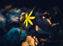 Gele de lente bosbloem stock afbeeldingen