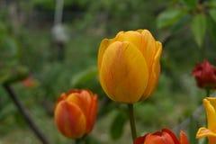 Gele de lentebloem royalty-vrije stock afbeeldingen