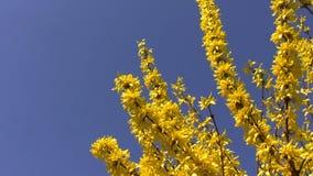 Gele de lentebloemen die op blauw worden geïsoleerd stock footage