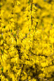 Gele de lentebloemen op groen royalty-vrije stock afbeeldingen