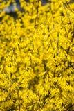 Gele de lentebloemen op groen royalty-vrije stock foto