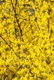 Gele de lentebloemen op groen royalty-vrije stock fotografie