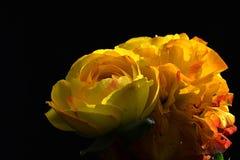 Gele de lentebloemen van Ranunculus Asiaticus op donkere achtergrond Stock Afbeelding