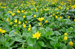 Gele de lentebloemen in de weide stock foto