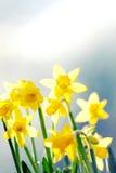 Gele de Lentegele narcissen. Stock Afbeelding