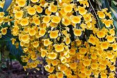 Gele Dendrobium-orchidee Royalty-vrije Stock Afbeelding