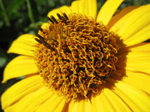 Gele dichte omhooggaand van de heliopsisbloem Stock Foto's