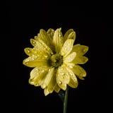 Gele die bloem op zwarte met waterdalingen wordt geïsoleerd Close-up Stock Fotografie