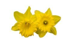 Gele die bloemen (narcissen) op wit worden geïsoleerd Stock Afbeelding