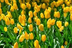 Gele die bloemtulp door zonlicht wordt aangestoken Zachte selectieve nadruk, tulpen dichte omhooggaand royalty-vrije stock afbeelding