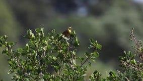 Gele die hamervogel, Emberiza-citrinella, op een kleine boom naast een rivier op een winderige zonnige dag in juli wordt neergest stock video