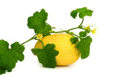 Gele die het eten meloen op witte achtergrond wordt geïsoleerd Stock Afbeeldingen