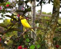 Gele die kanarievogel op tak wordt neergestreken Stock Foto's