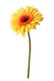 Gele die madeliefjebloem op wit wordt geïsoleerd Stock Afbeelding