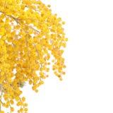 Gele die mimosa op witte achtergrond wordt geïsoleerd Stock Afbeeldingen