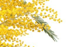 Gele die mimosa op witte achtergrond wordt geïsoleerd Stock Fotografie