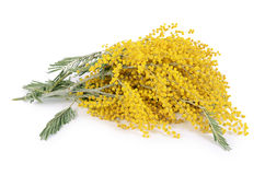 Gele die mimosa op witte achtergrond wordt geïsoleerd Royalty-vrije Stock Foto's