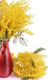 Gele die mimosa op witte achtergrond wordt geïsoleerd Royalty-vrije Stock Afbeeldingen