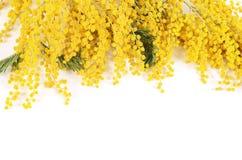 Gele die mimosa op witte achtergrond wordt geïsoleerd Royalty-vrije Stock Foto
