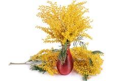 Gele die mimosa op witte achtergrond wordt geïsoleerd Royalty-vrije Stock Afbeelding