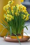 Gele die gele narcissen ook als jonquilles en narcissen in een flo worden bekend Stock Foto