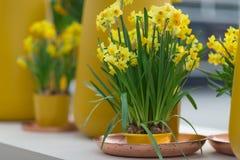 Gele die gele narcissen ook als jonquilles en narcissen in een flo worden bekend Royalty-vrije Stock Fotografie