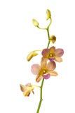 Gele die orchidee op witte achtergrond wordt geïsoleerd Royalty-vrije Stock Foto