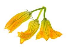 Gele die pompoen en courgettebloemen op witte achtergrond worden geïsoleerd Stock Afbeeldingen