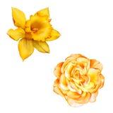 Gele die Rose Flower op witte achtergrond wordt geïsoleerd Stock Foto's