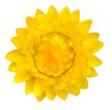 Gele die Strawflower, Helichrysum-bracteatum op Wit wordt geïsoleerd Stock Afbeelding