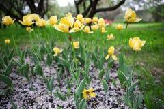Gele die tulpen ter plaatse met witte gevallen kersenbloemblaadjes worden overgoten royalty-vrije stock fotografie