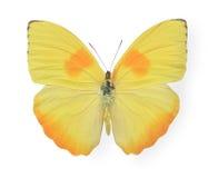 Gele die vlinder op wit wordt geïsoleerd Royalty-vrije Stock Afbeelding