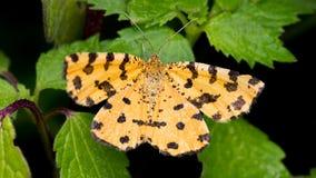 Gele die Vlinder op Zwarte Achtergrond wordt geïsoleerd Stock Afbeeldingen