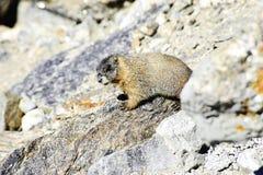 Gele Doen zwellen Marmot Stock Foto's