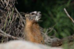 Gele Doen zwellen Marmot die zich bij aandacht bevinden Stock Foto