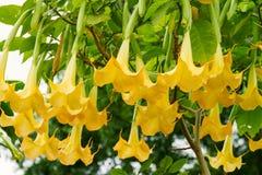 Gele doornappelbloem Stock Foto's