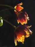 Gele drie - rode tulpen op een donkere achtergrond stock afbeeldingen