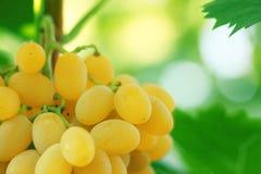 Gele druivencluster met bladeren op wijnstok stock fotografie