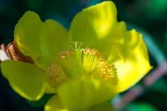 Gele duidelijke eerste van de bloemzomer stock fotografie