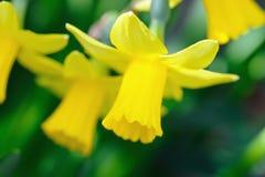 Gele dwergtrompetgele narcissen Stock Foto's