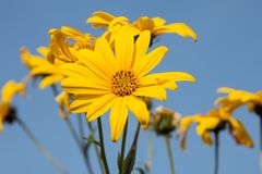 Gele eenzame mooie bloem op het gebied stock afbeelding