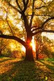 Gele eiken boom en natuurlijke zonstralen Stock Afbeelding