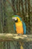Gele en blauwe aronskelkenara op toppositie royalty-vrije stock fotografie