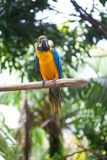 Gele en blauwe die ara op een houten post wordt neergestreken Royalty-vrije Stock Afbeelding