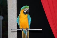 Gele en blauwe papegaai Stock Foto