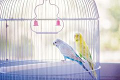 Gele en blauwe papegaaien stock afbeelding