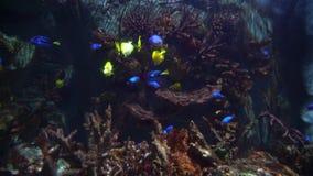 Gele en gele blauwe zweempjevissen die in een groot marien aquarium zwemmen stock footage