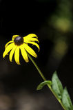 Gele en bruine bloem op een stam Royalty-vrije Stock Foto