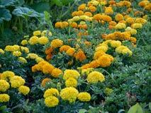 Gele en gouden bloemen bij de markt van de staat stock fotografie