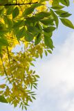 Gele en groene bladeren op boom tegen blauwe hemel Stock Afbeeldingen